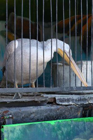 zoo as: Pelican as the provincial zoo exhibit Stock Photo