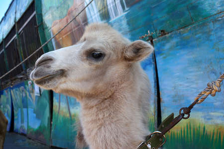 zoo as: camel as a mobile exhibit of provincial zoo