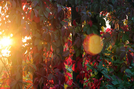 brightly lit: brightly lit leaves of wild grapes Stock Photo