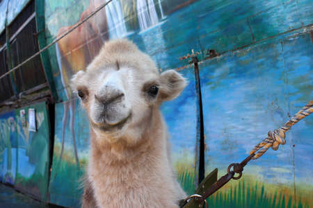 zoo as: scene camel as a mobile exhibit of provincial zoo