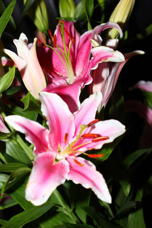 ornamental garden: beautiful pink lily flower as an decoration ornamental garden