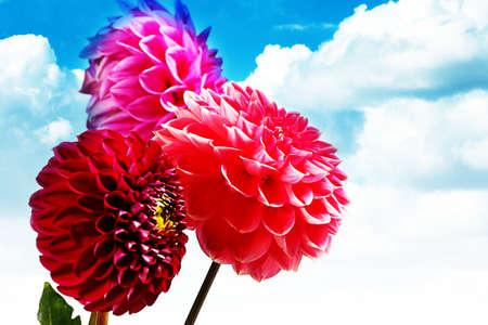 beautiful buds picture garden decorative dahlias flowers