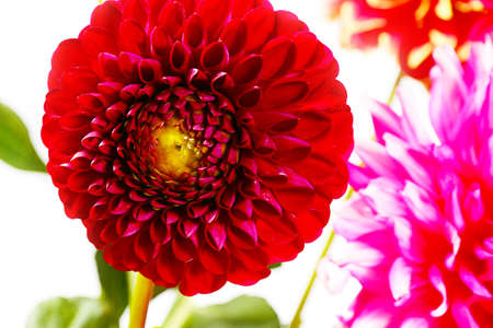 dahlia garden image as an element festive floral arrangements Reklamní fotografie