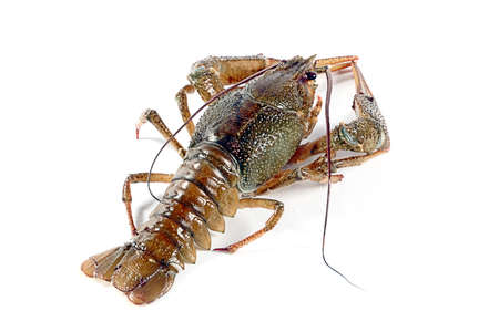 fished: live crayfish fished as a trophy fisherman Stock Photo