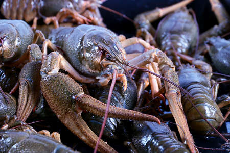 wonderful freshly caught crayfish as a trophy for a successful fishing foods Stock Photo