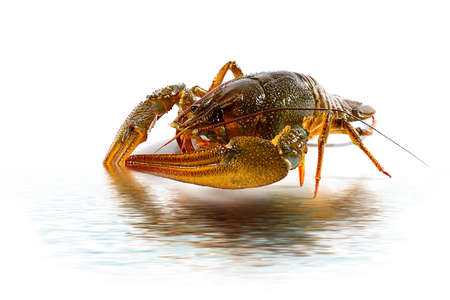 wonderful fresh live crayfish as a trophy from fishing