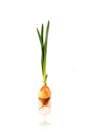 Bright green sprouts fresh onion in a glass