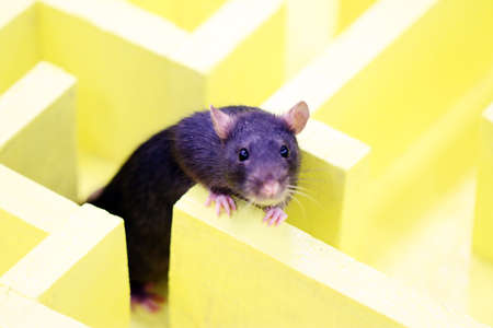 mouse: Gray decorative rat in a logical labyrinth when studying the reflexes and way of thinking of an animal Stock Photo