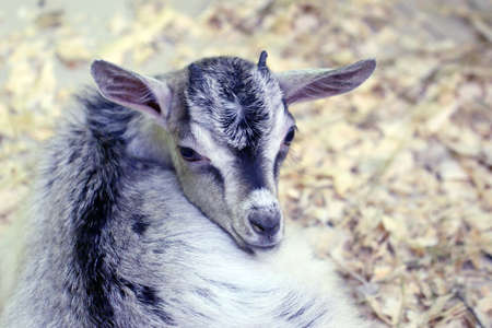 Decorative domestic goat in a zoological enclosure as an exhibit of wildlife