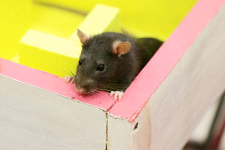 Gray decorative rat in a logical labyrinth when studying the reflexes and way of thinking of an animal Stock Photo