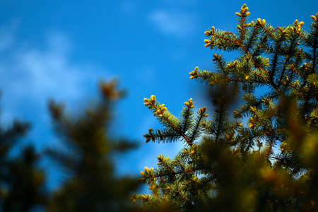 larch tree: Young green shoots of spruce branches and sunny blue sky Stock Photo