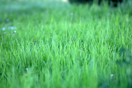Fresh beautiful green grass on the lawn on a summer day