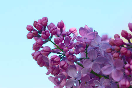 Beautiful flowers on a branch of a lilac bush as a symbol of the spring season