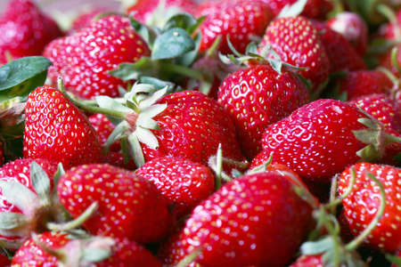 cultivated: Harvest of a large ripe fresh strawberry