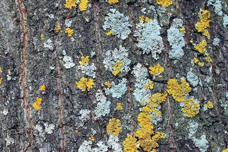 solid background: Multicolored moss and lichen on the bark trunk wood oak