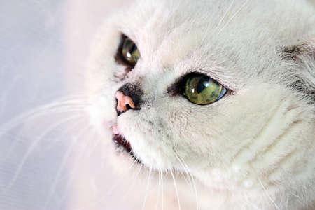 Sad look of a sick old gray pedigreed cat Stock Photo
