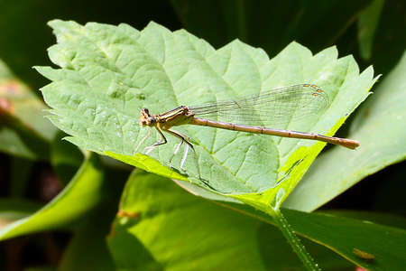thorax: A small graceful dragonfly and beautiful green plant leaves Stock Photo