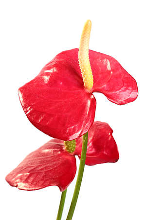 Beautiful flowers of home indoor decorative plants anthurium