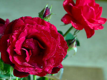A beautiful rose as an element of an ornamental plant Stock Photo