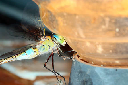 plafond: Large predatory wild dragonfly on the plafond of light bulb Stock Photo