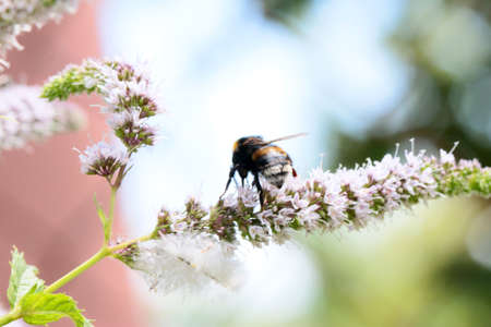 field mint: The bee eats nectar from peppermint flowers