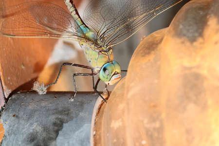 Large predatory wild dragonfly on the plafond of light bulb Stock Photo