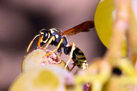 background: Predatory dangerous wasp
