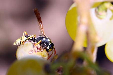 Pest garden hawk predatory wild wasp destroys the grapes