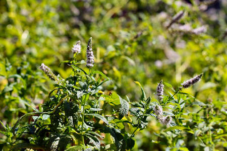 field mint: beautiful leaves and stems of a medicinal plant peppermint Stock Photo
