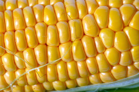fine coarse corn cobs cooked for food Stock Photo