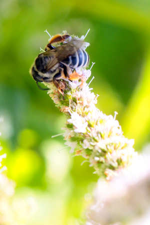 a large dangerous bee extracts nectar from the flowers of the plant peppermint Stock Photo