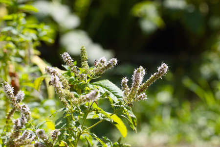 beautiful leaves and stems of a medicinal plant peppermint Stock Photo