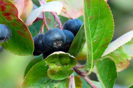 beautiful fruit of a bush chokeberry in a country garden