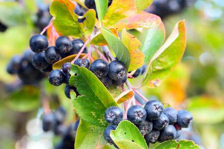 ripe fresh beautiful berries of chokeberry on a bush branch Stock Photo