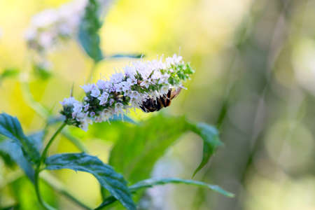 field mint: beautiful purple flowers and young stems of peppermint