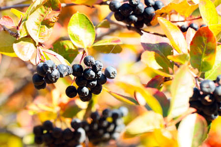 beautiful fresh autumn berries on the branches of aronia Stock Photo