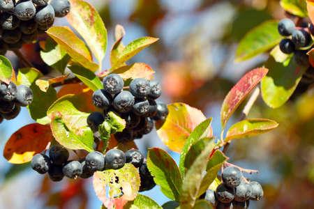 beautiful fresh berries aronia on branches bush black chokeberry