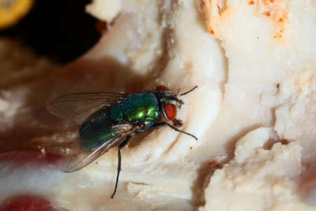 Big fat dirty fly as messenger of dirt and contagion Stock Photo
