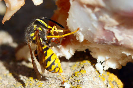 large predatory wild wasp on a piece of raw meat Stock Photo