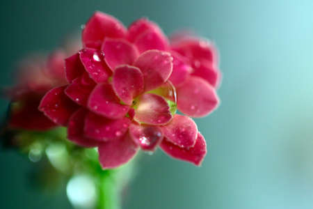 damp beautiful flowers of the home plant of Kalanchoe Stock Photo