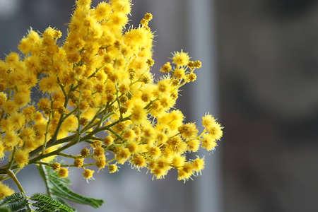 beautiful fresh spring flowers of mimosa tree