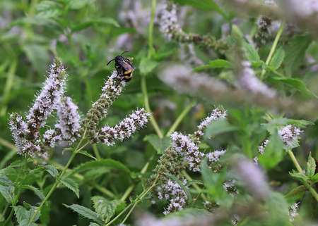 a large wild bee on a beautiful flower of peppermint