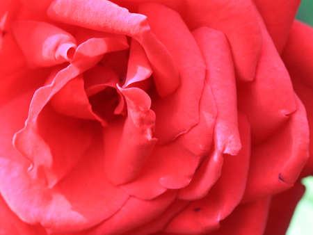 beautiful scarlet graceful flower garden rose as decoration