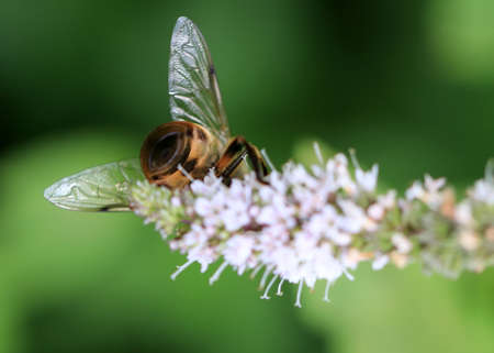 the bee collects fresh nectar from the flowers of mint