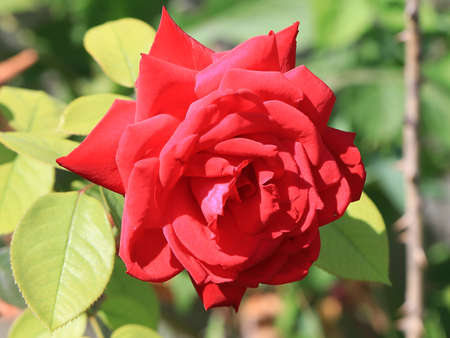 beautiful scarlet rose as a decorative park flower 스톡 콘텐츠