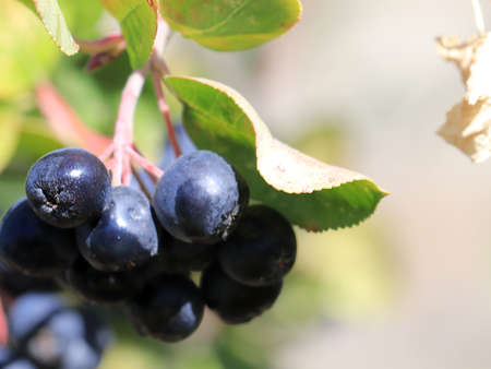 branches of Aronia