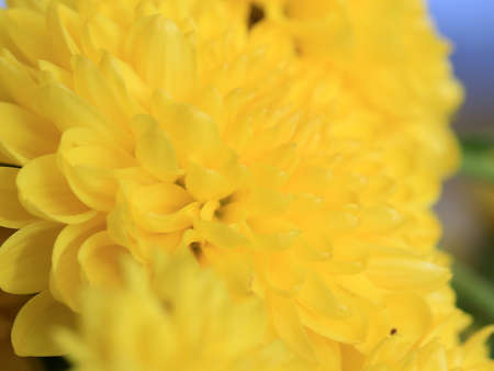 yellow flower chrysanthemum 写真素材