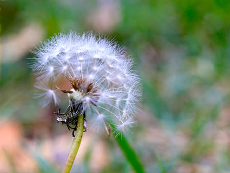 forest flower dandelion