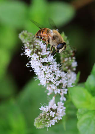 bee pollinates and collects nectar