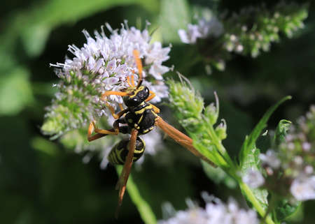 wild bee collects nectar from garden peppermint flower Archivio Fotografico